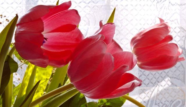 tulips-1332182054KNT